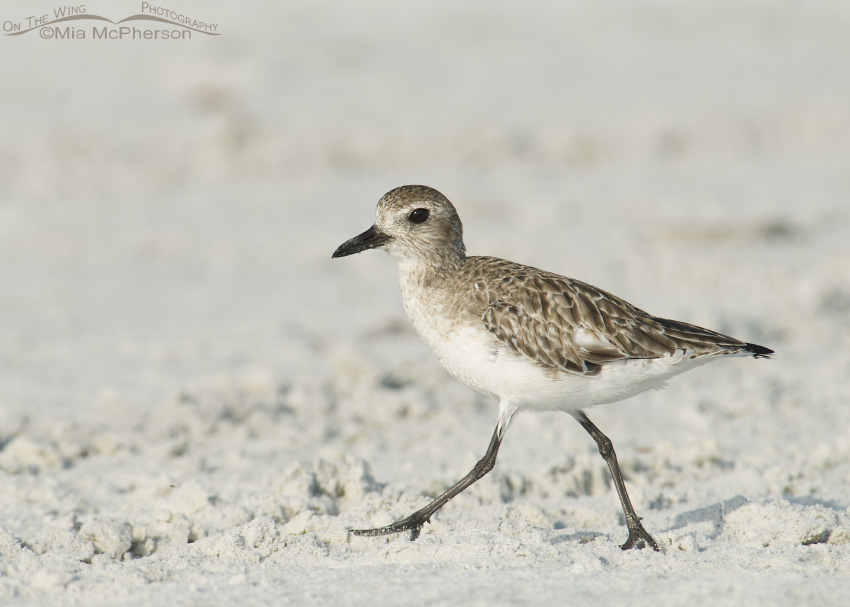 Black-bellied Plover running on the sand