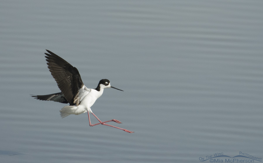 Black-necked Stilt landing on the Great Salt Lake