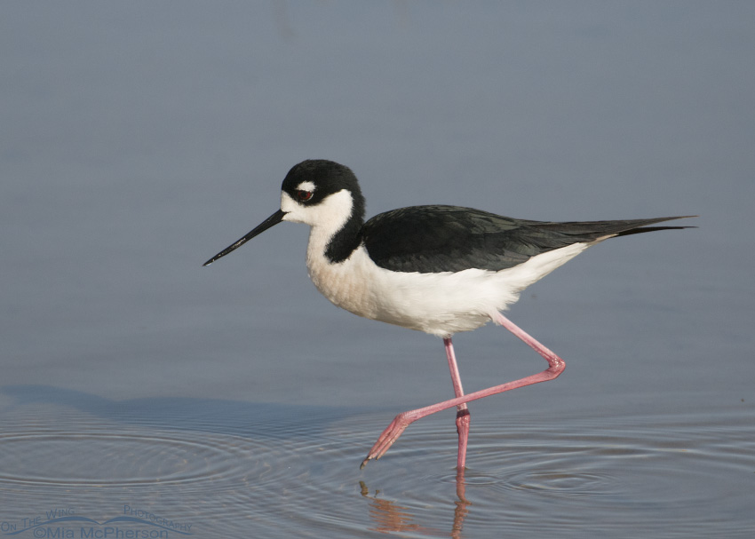Black-necked Stilt on one leg