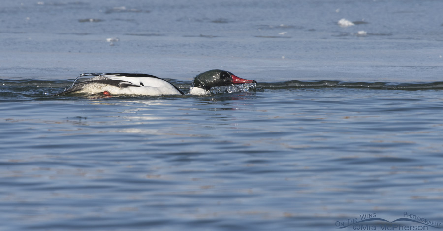 A bathing Common Merganser male in breeding plumage