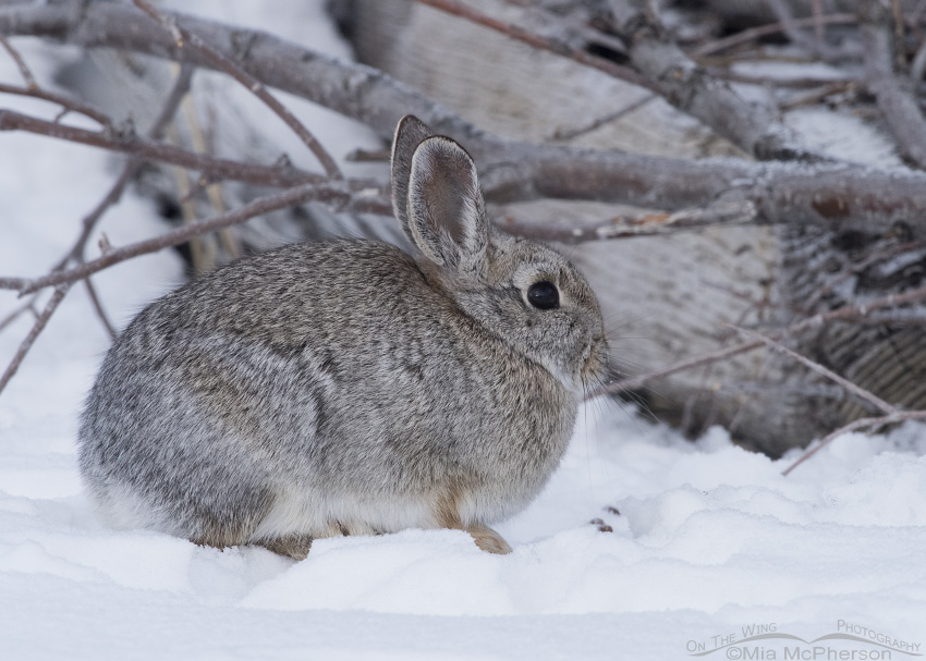 Desert Cottontail in front of a pile of branches