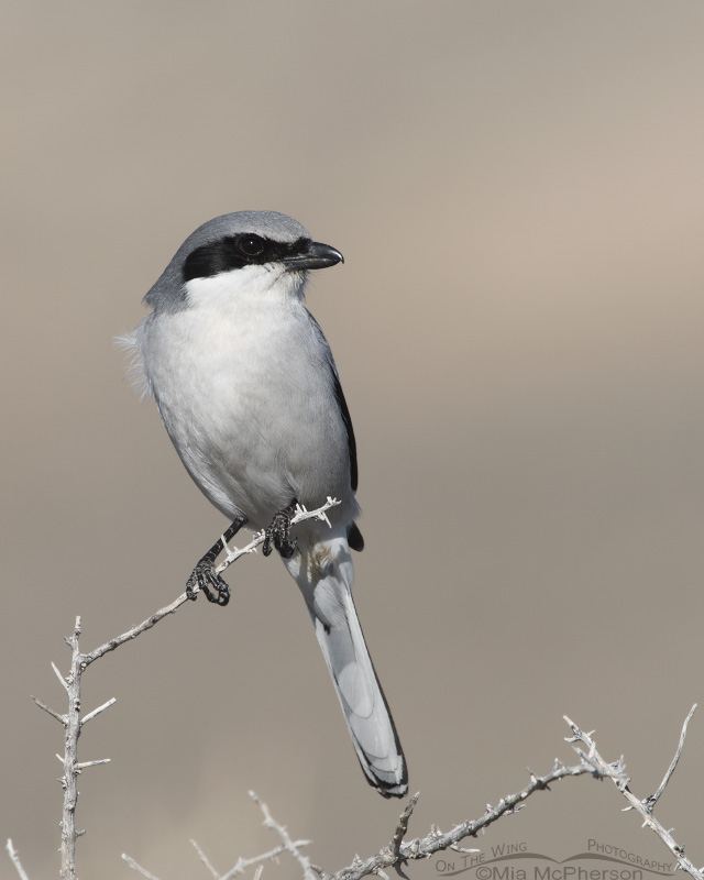 A Loggerhead Shrike mid morning