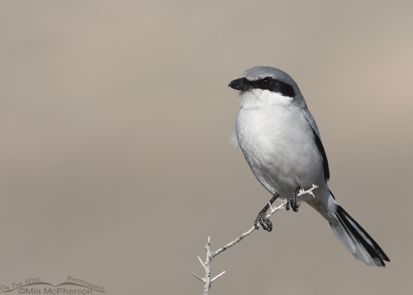 Perched adult Loggerhead Shrike