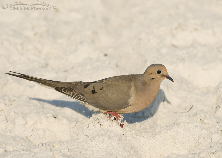 Mourning Dove on the beach