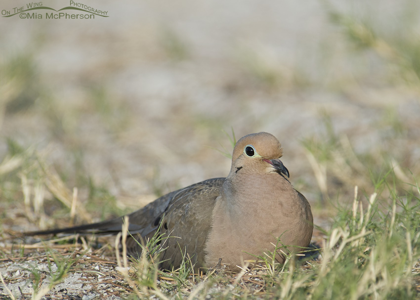 A Mourning Dove resting in the grass