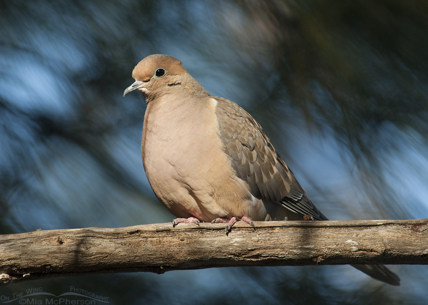 A Mourning Dove perched in a pine