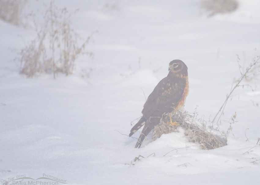 A juvenile Northern Harrier in a fog