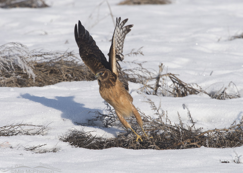 A juvenile female Northern Harrier lifting off from a snowy field