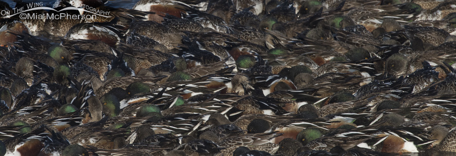 A Whirlpool of feeding Northern Shovelers