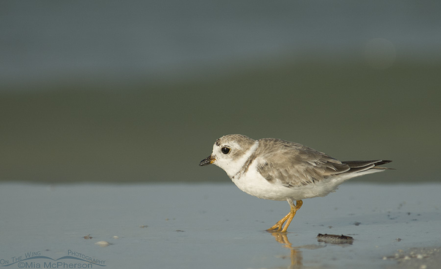 A Piping Plover searching for prey