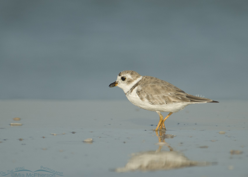 A Piping Plover hunting