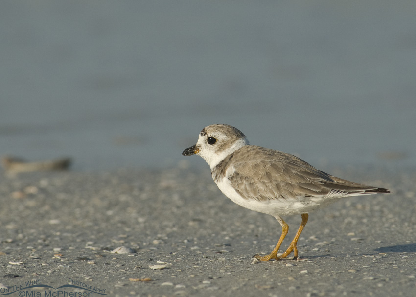 Piping Plover in profile