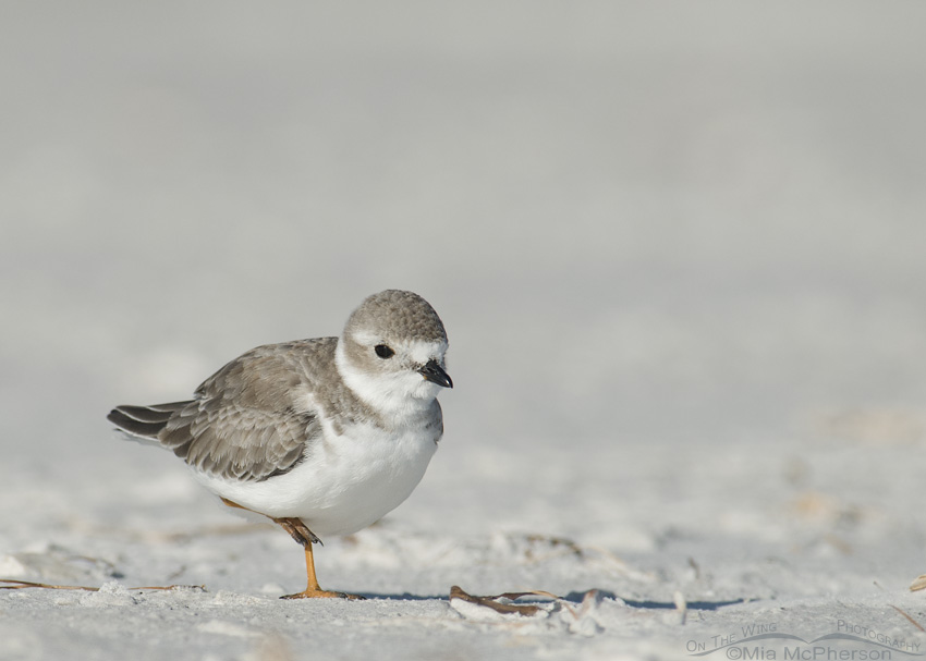 A Piping Plover standing on one leg
