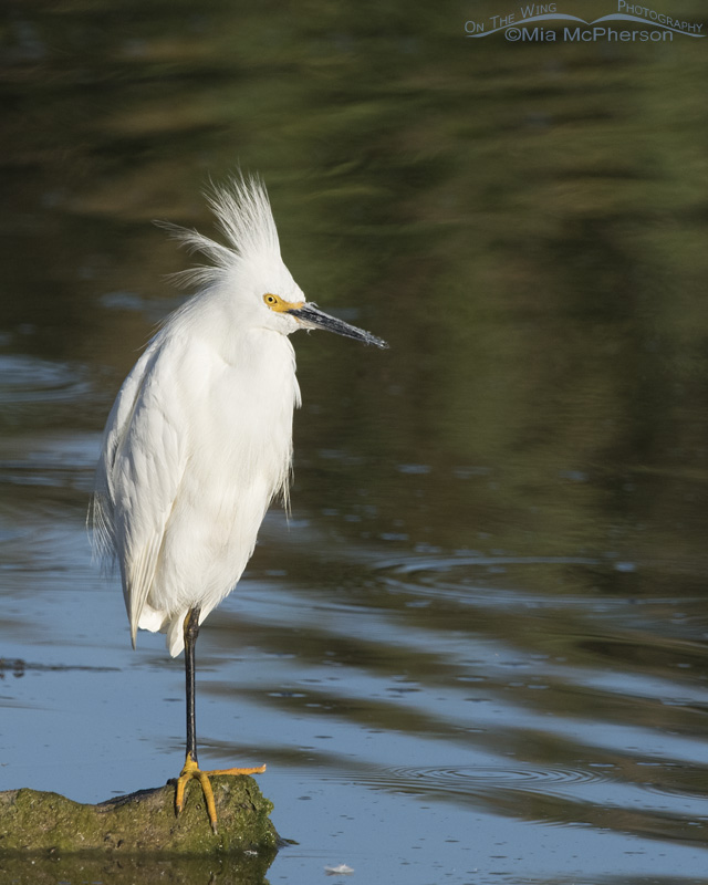 A resting Snowy Egret with its crest plumes raised