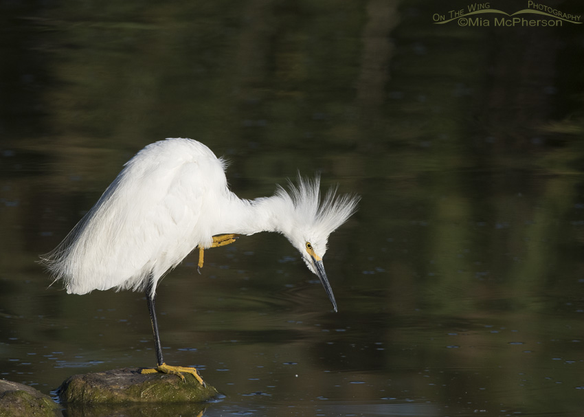 A Snowy Egret scratching its neck