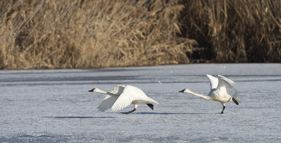 Tundra Swans running on ice