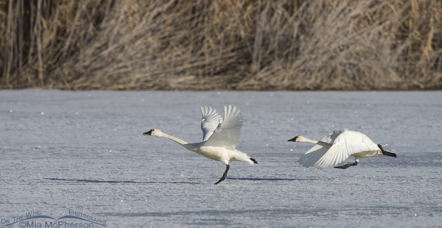 Tundra Swans gaining speed for lift off