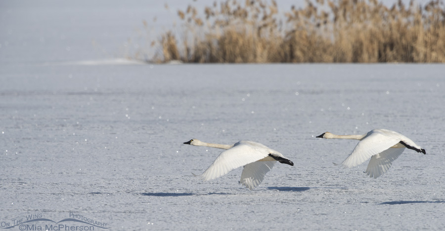 Tundra Swans after lift off from ice
