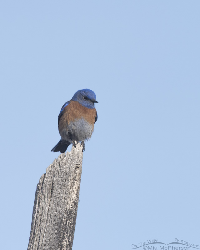 Western Bluebird male in Tooele County, Utah