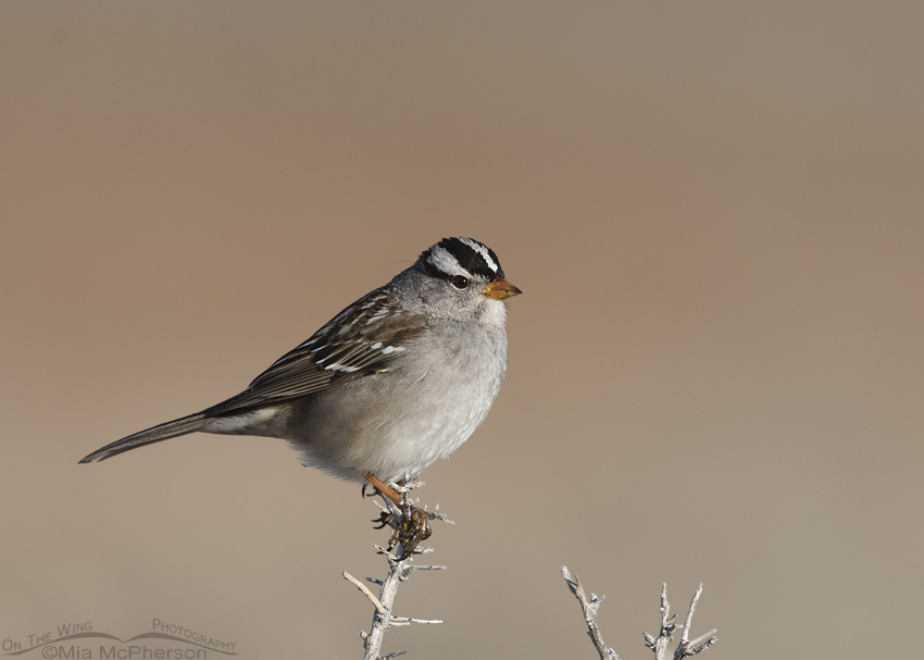 A White-crowned Sparrow adult on a February morning