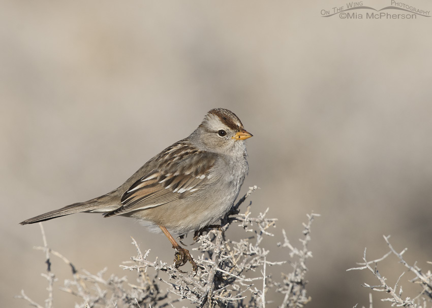A White-crowned Sparrow juvenile on a February morning