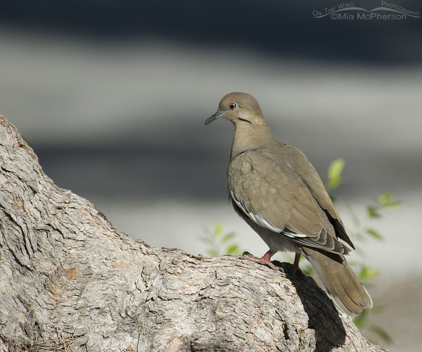 White-winged Dove relaxing