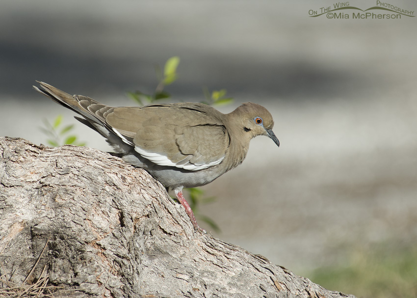 White-winged Dove walking on tree root