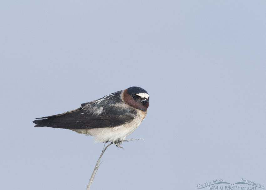 Bear River Cliff Swallow