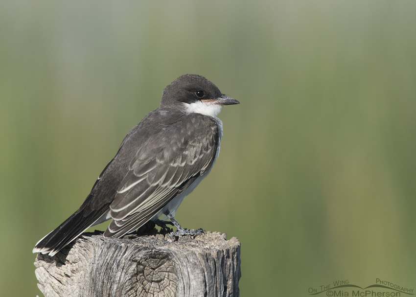 Juvenile Eastern Kingbird perched on a fence post