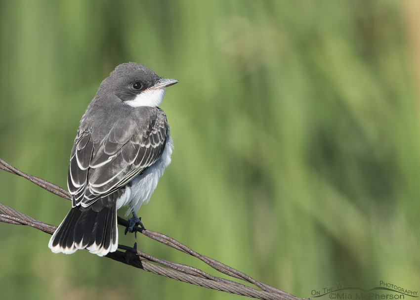 Juvenile Eastern Kingbird perched on wires