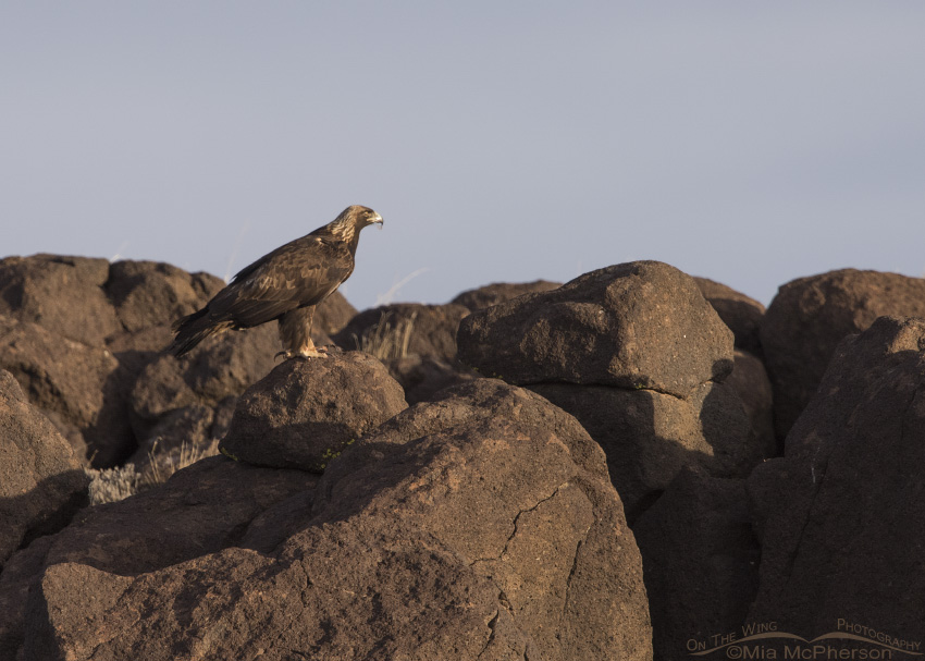 A Golden Eagle adult perched on huge boulders
