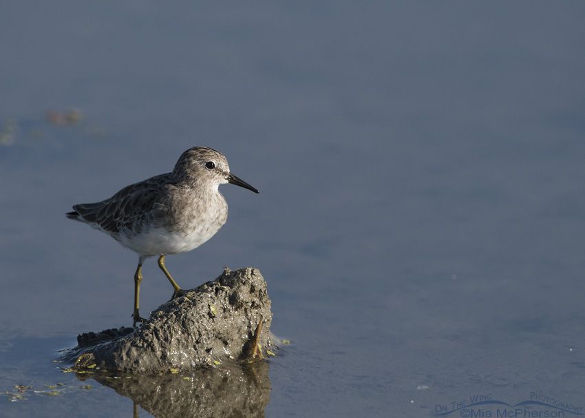 A Least Sandpiper standing on mud
