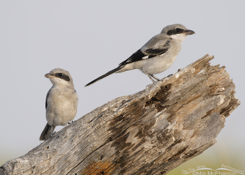 Loggerhead Shrike juveniles on a log
