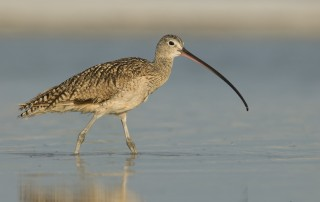Long-billed Curlew walking in a shallow lagoon