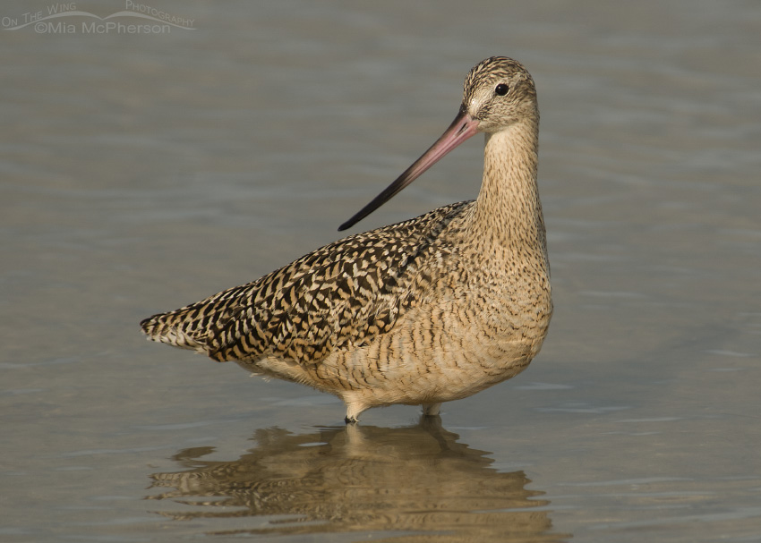 Shallow water Marbled Godwit