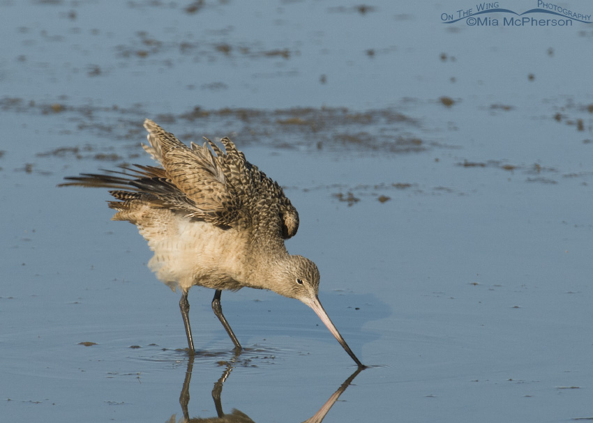 Marbled Godwit shaking feathers