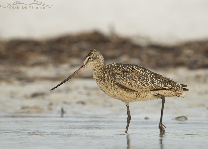 Foggy morning Marbled Godwit