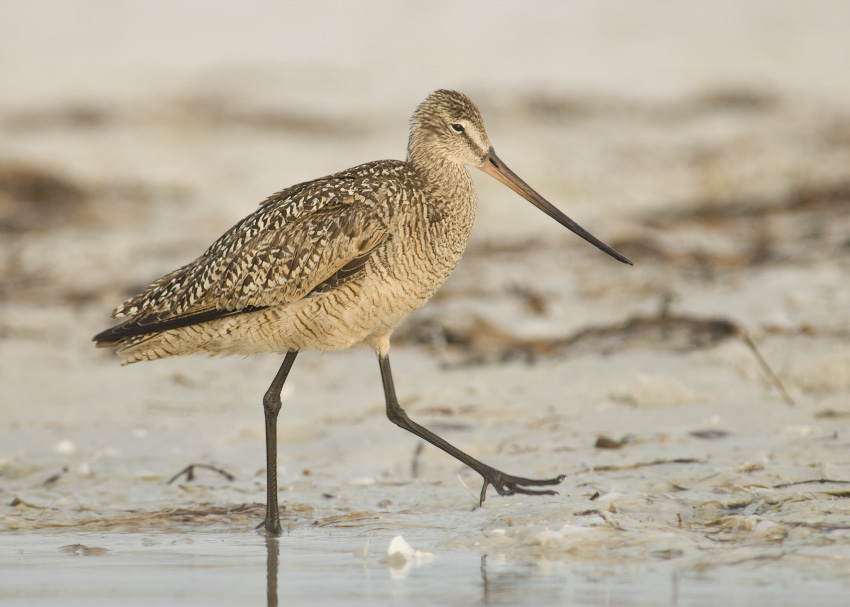 Foggy Marbled Godwit