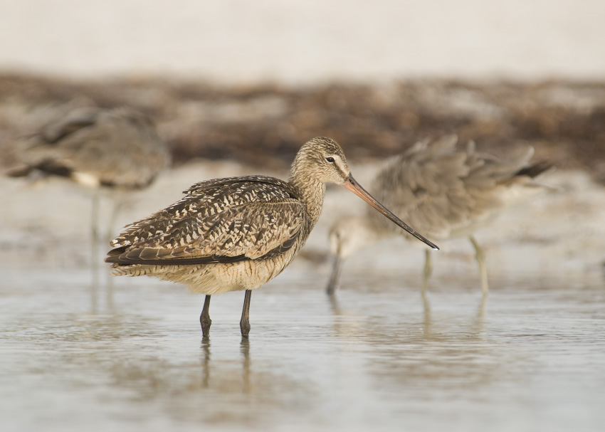 Low light Marbled Godwit