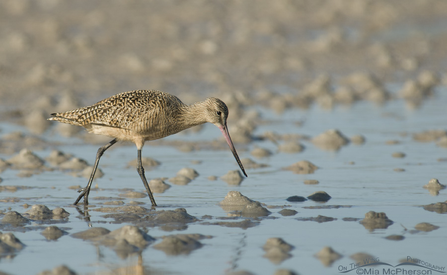 Marbled Godwit foraging a tidal flat
