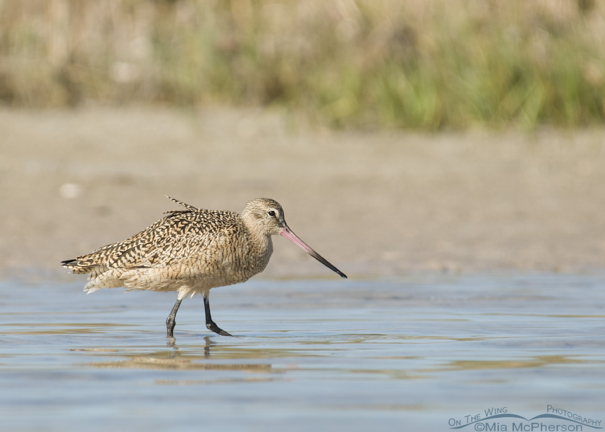 Marbled Godwit on the marsh edge
