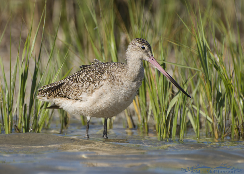 Marbled Godwit with Spartina