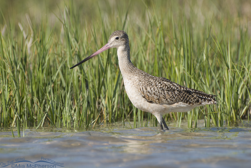 Spartina marsh Marbled Godwit