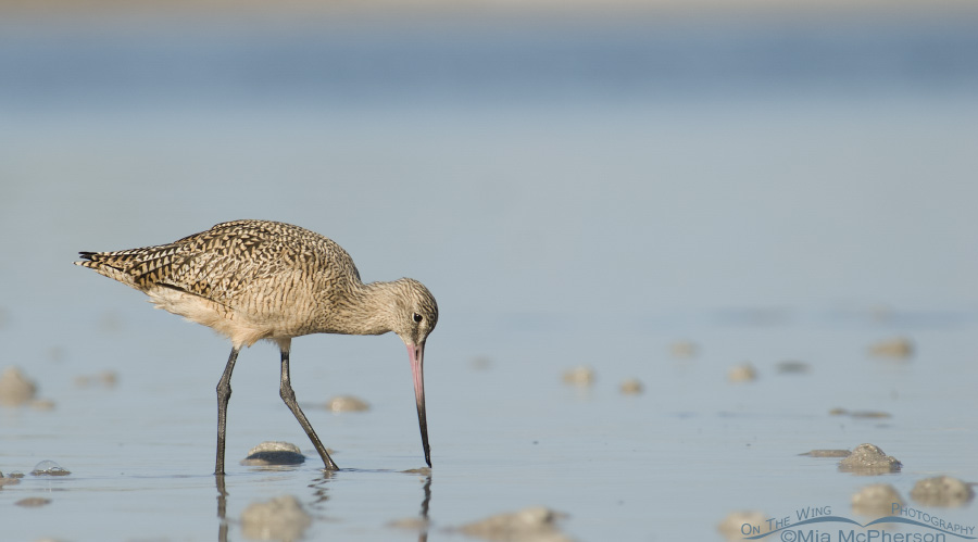 Still water Marbled Godwit