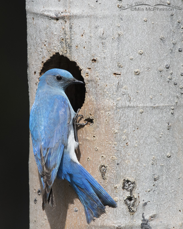 Male Mountain Bluebird at Nesting Cavity
