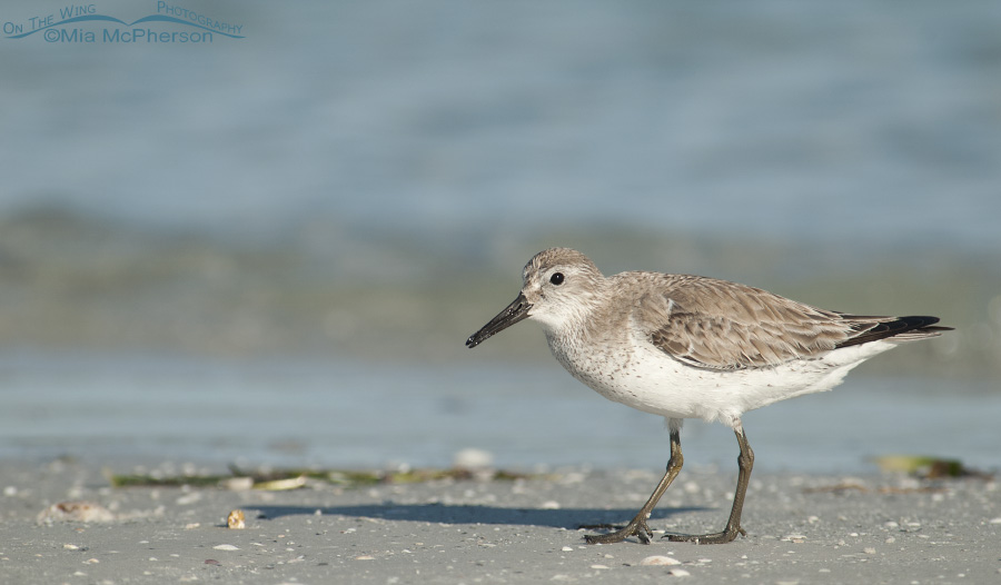 Alert Red Knot