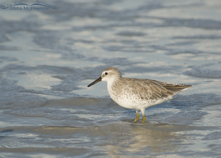 Surf side Red Knot