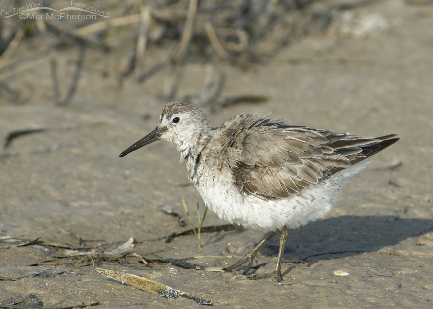 Shaking Red Knot