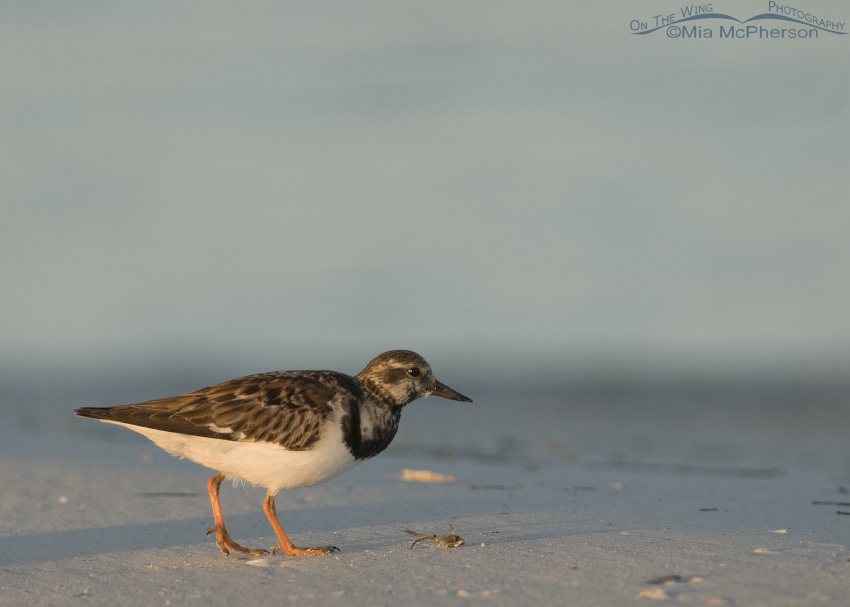 Ruddy Turnstone with small crab