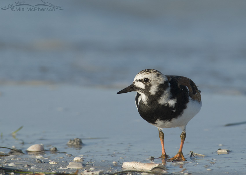 Ruddy Turnstone profile